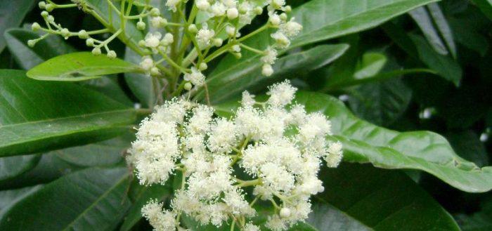 Байевое дерево – растение, из листьев которого добывают эфирное масло