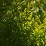 ветви кипариса