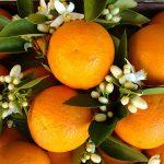 цветки и плоды померанца