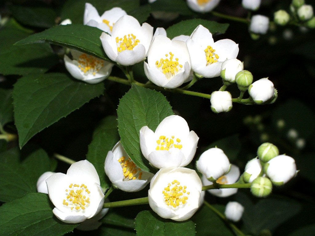 jasmine flower Jasmine produces fragrant flowers during the spring and summer smell is especially strong during the night because drop in temperature (at the end of a day) triggers opening of flowers flowers of jasmine contain both types of reproductive organs.