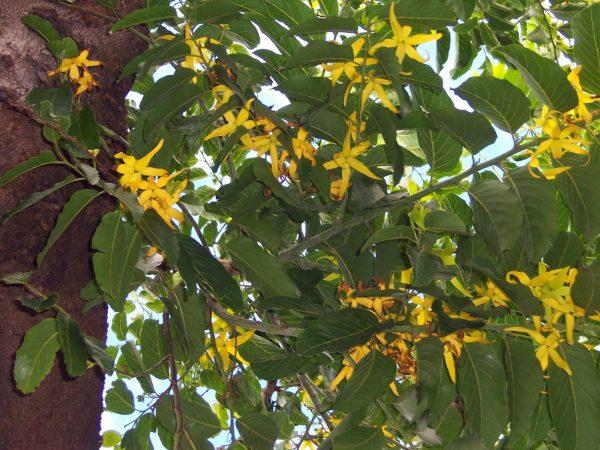 Цветущее дерево иланг-иланга