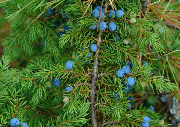 Ветка можжевельника с синими ягодами