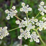 Цветок тмина обыкновенного